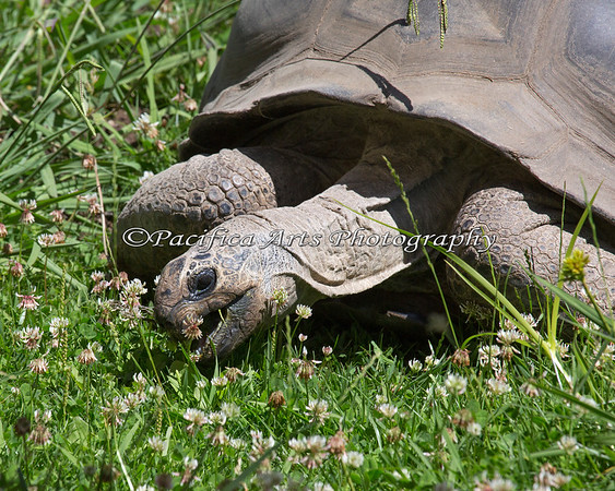 Aldabra Tortoise eating clover and flowers.