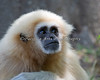 White-handed (Lar) Gibbon - female