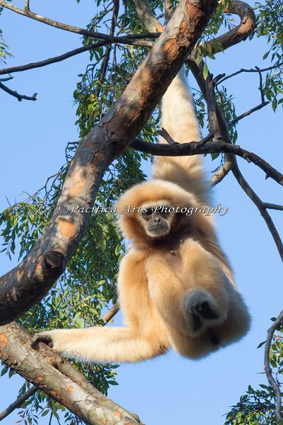 White-handed Gibbon - Gladys