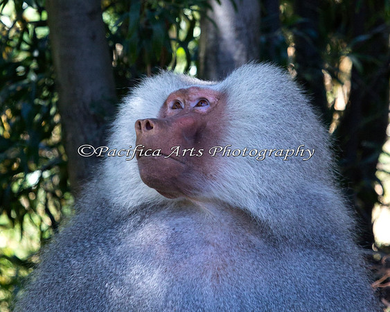 An adult male Hamadryas Baboon.  He's watching the young ones tossing branches down from up in the trees, and he's none too happy about it.