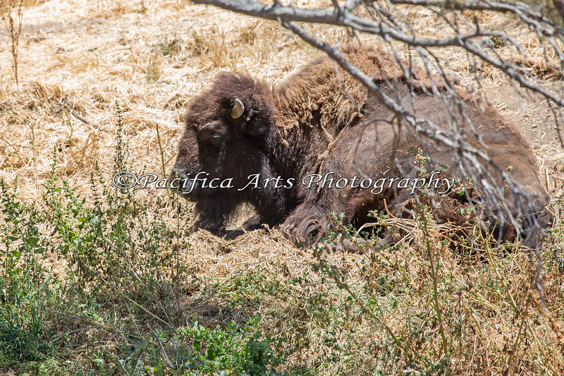 I didn't know they had American Bison, but they do!  I spotted a few of these from the Sky Ride.
