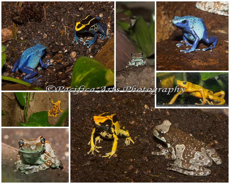 Oakland Zoo Frog Collage - Clockwise from top left: Dyeing Poison Dart Frogs,  Amazon Milky Frog, Dyeing Poison Dart Frog, Panamanian Golden Frog, Dyeing Poison Dart Frog with an Amazon Milky Frog, Amazon Milky Frog, Panamanian Golden Frog.