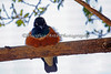 Superb Starling roosting in a tree overhead