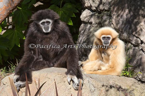 White-handed Gibbons - Nikko & Gladys