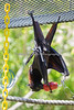 Malayan Flying Fox Bat finds something tasty in the Kong toy.