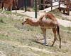 Dromedary (Arabian) Camel