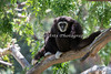 White-handed Gibbon - male