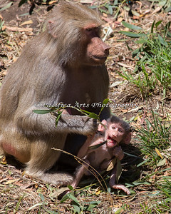 Baby Hamadryas Baboon trying out one of the leaves that mom is holding.