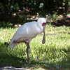 Spoonbill - cute little bird!