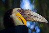 Malayan Wreathed Hornbill