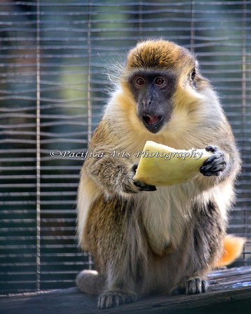 Vervet (Green) Monkey