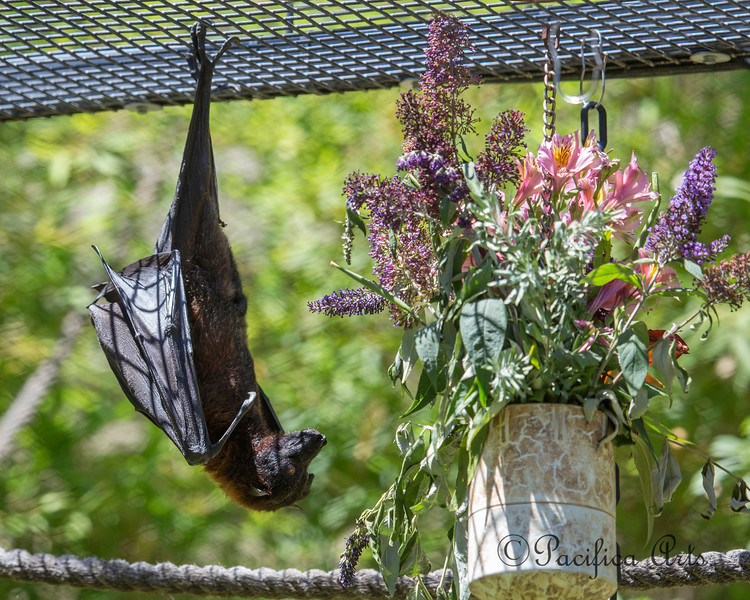 "Malayan Flying Fox Bat receives a bouquet.  ""Oh, you shouldn't have!"""