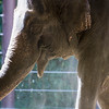 A female Asian elephant at the National Zoo in Washington, DC.