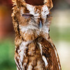 RILEY: Eastern Screech-Owl -Male; Weight 200 grams; Born before 2007