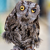 LUCY: Western Screech-Owl<br /> <br /> Female; Weight 150 grams; Born 2004