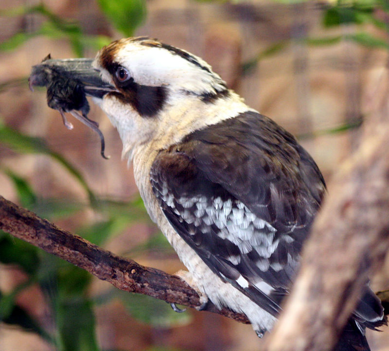 Kookabera with lunch