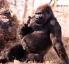 Comtemplating Lowland Gorilla
