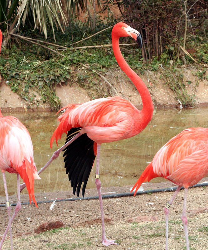 Stretching Flamingo