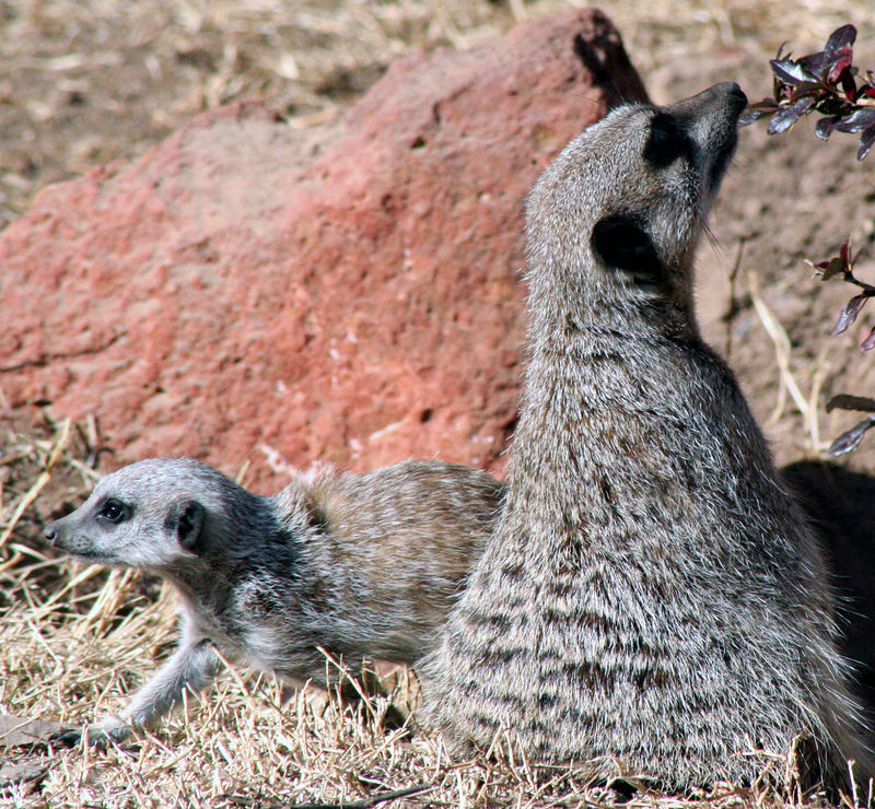 Meerkat Mother and Baby