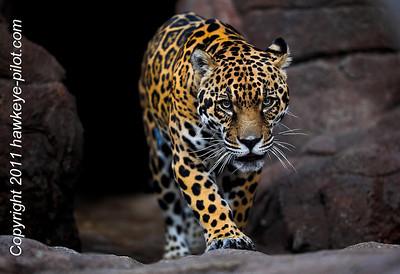 Jaguar!