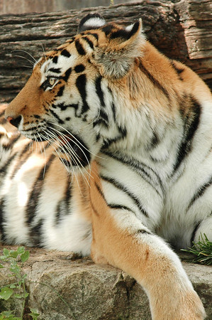 Something has this tigers' attention