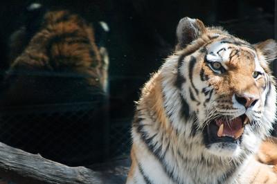 Siberian Tiger reflection