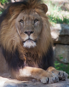 Serious Male African Lion