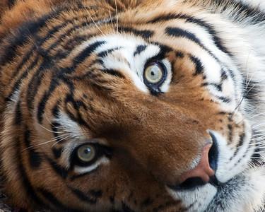 Intense Siberian Tiger