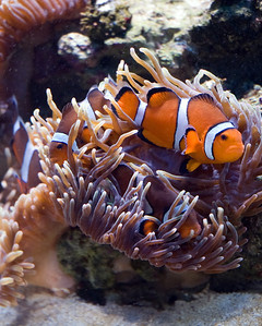 Clownfish are the only fish that do not get stung by the tentacles of the sea anemone. They have a slimy mucus covering that protects them from the sea anemone.