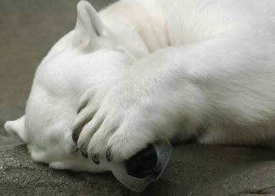 Polar Bear peek-a-boo