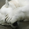 Polar Bear peek-a-boo