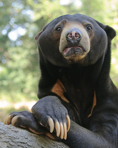 Sun Bear Portrait