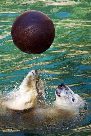Polar Bear playing ball