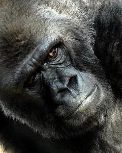 Lowland Gorilla