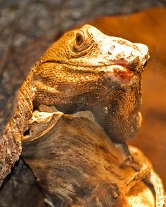 Sonoran Black Spinytail Iguana