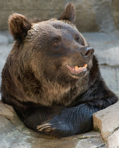 Grinning Grizzly Bear