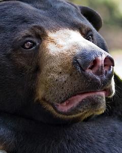 face to face with a sun bear