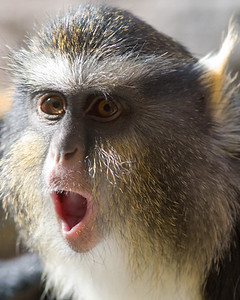 Wolf's Guenon