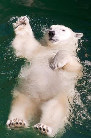 Polar Bear Backstroke