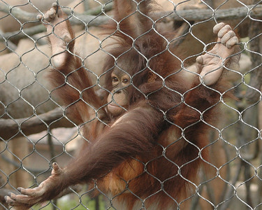 """Orangutan """"begging"""""""