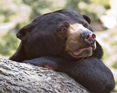 Sun Bear Contemplation
