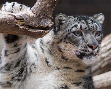 Curious Snow Leopard