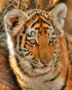 Female Siberian tiger cub born June 22, 2010