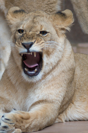 Feisty lioness
