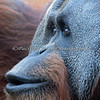 Here's an intersting close-up of the face of a Sumatran Orangutan!
