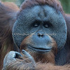 Fuzzy eyelashes! (Sumatran Orangutan)