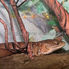 Southern Aligator Lizard