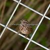 Song Sparrow (wild)