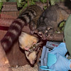 The Keepers are giving the Ringtails their treats.