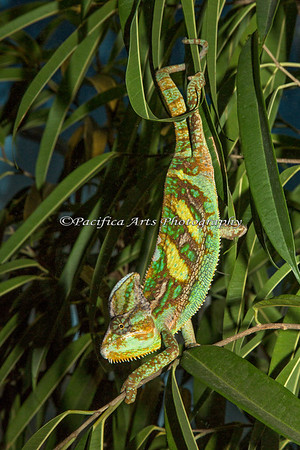 """Bazinga"", a Veiled Chameleon.  What a beautiful animal!"